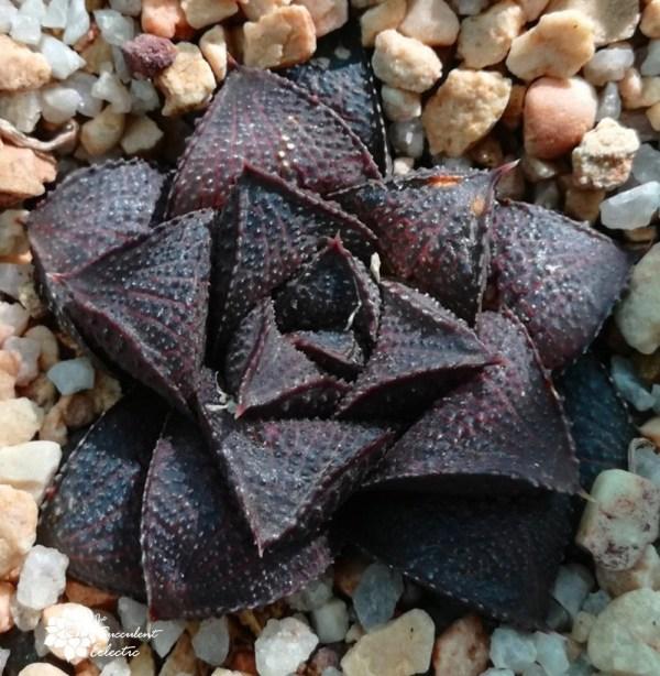 Haworthia koelmaniorum - dark purple haworthia plant