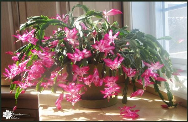 flowering succulent Christmas cactus are easy indoor succulents
