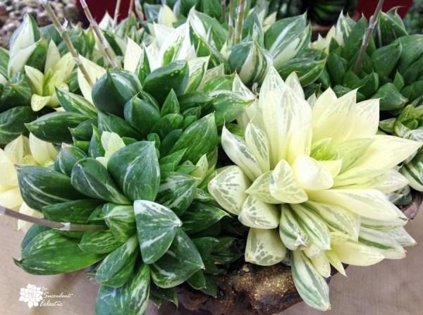 haworthia cuspidata variegata displays window leaf