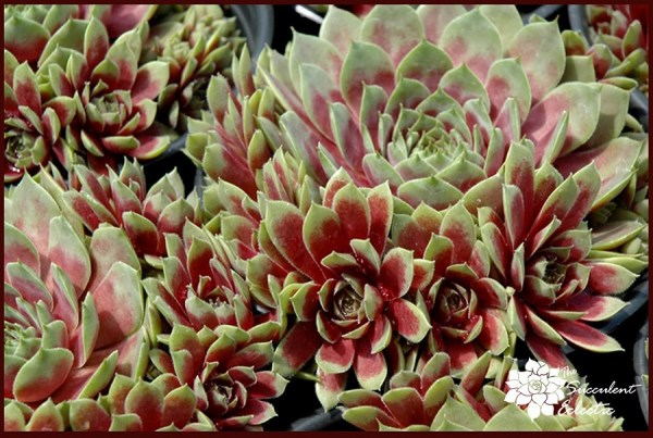 red and green sempervivum hens and chicks plants