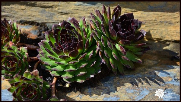 sempervivum hens and chicks evolved adaptations to very dry conditions