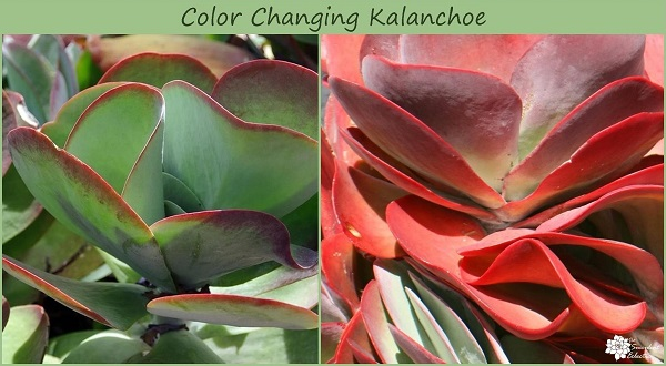 color changes in kalanchoe paddle plant