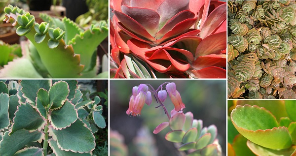 species spotlight colorful kalanchoe care the succulent eclectic. Black Bedroom Furniture Sets. Home Design Ideas
