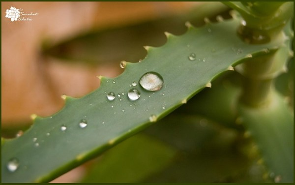 how to water aloe plants