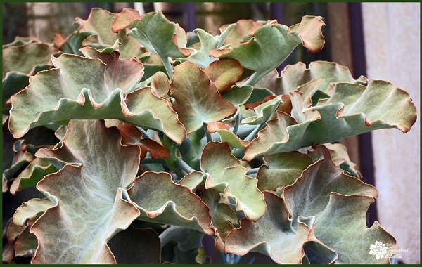 oak leaf kalanchoe plant