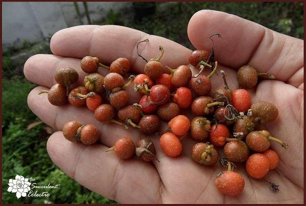 seed-bearing berries follow sansevieria snake plant flower