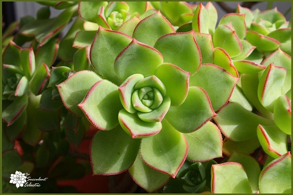 tricolor aeonium kiwi is a lovely rosette succulent