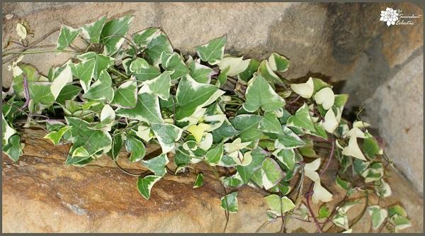Senecio Macroglossus Variegatus - Variegated Jade Vine