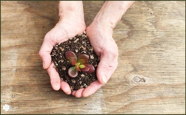 succulent soil cupped in man's hands with crassula jade growing in the soil
