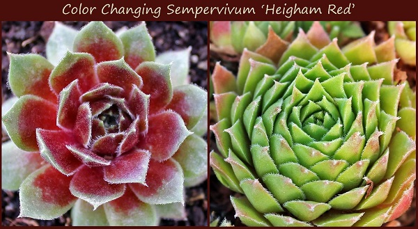 illustration of succulent stress with sempervivum heighman red in spring and fall