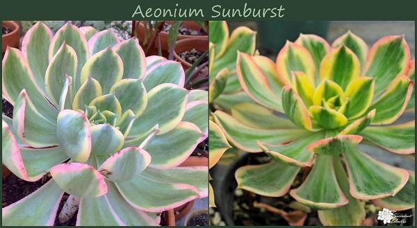 aeonium sunburst changes color in response to stress