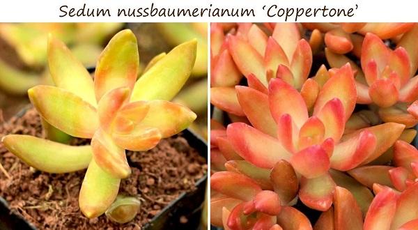 sedum nussbaumerianum coppertone changes color throughout the year