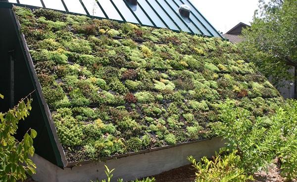 sedum planted as a green roof