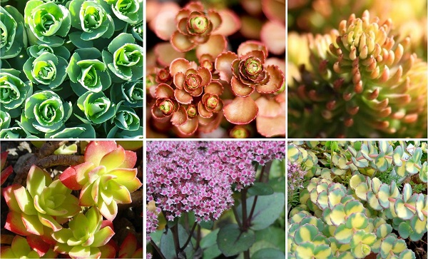 collage of 6 different sedum showing diversity within the genus