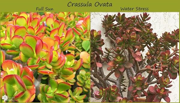 stressed succulents crassula ovata in sun and water stressed