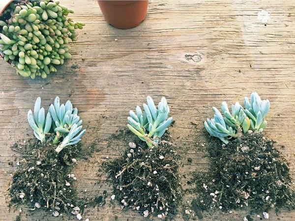 dividing succulent senecio serpens blue chalkstick plants into smaller clumps