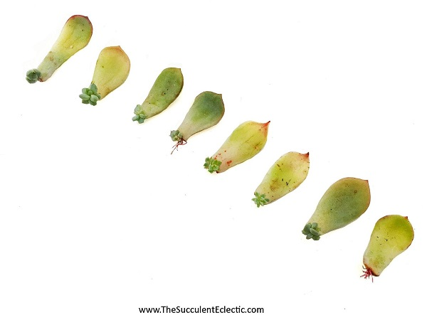 succulent leaves sprouting leaves and roots for propagation