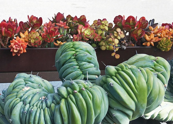 healthy colorful succulents well fertilized