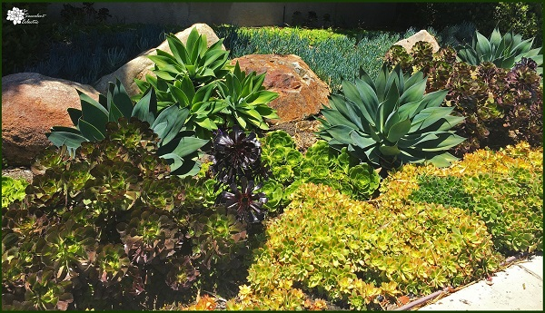 Succulents for full sun include aeonium, agave and echeveria