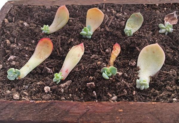 succulent leaf propagation plantlets planted in soil