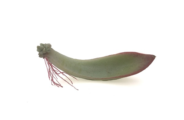 succulent propagation from a single echeveria leaf sprouting roots and leaves