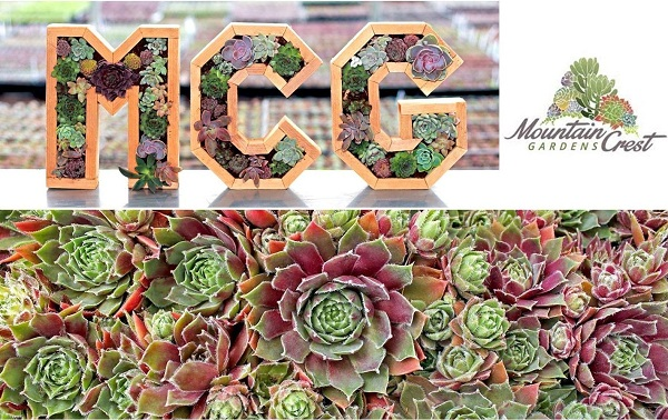where to buy succulents online? Mountain Crest Gardens offers a huge selection