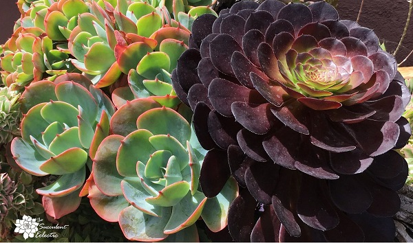 scientific names for plants echeveria and aeonium