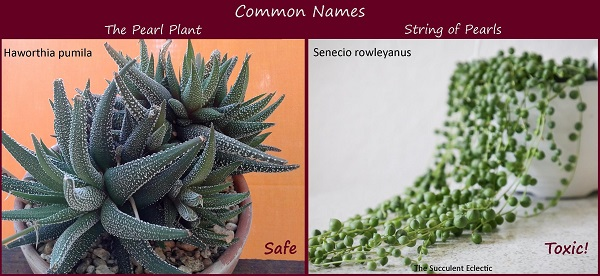 scientific names for plants matter - haworthia is safe for pets, senecio is toxic