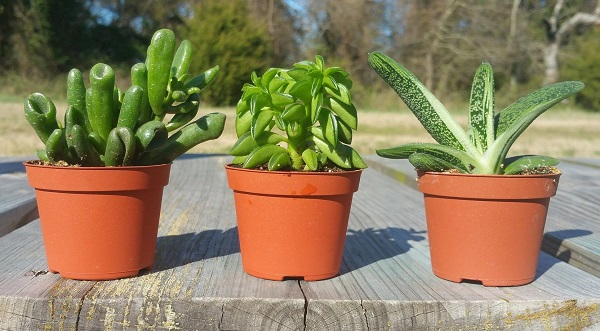 succulents in nursery pots