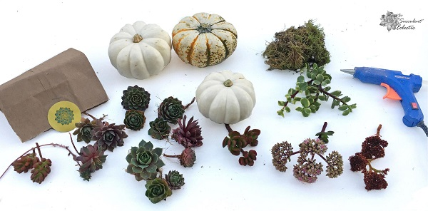 Gathering supplies -- mini pumpkins, succulent cuttings, moss and glue gun