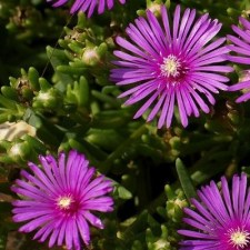 Delosperma ice plant is non toxic to pets