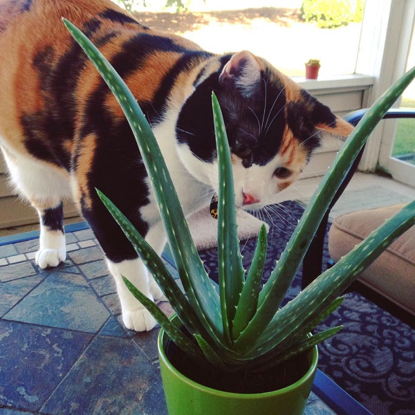Are Succulents Poisonous To Your Pet?