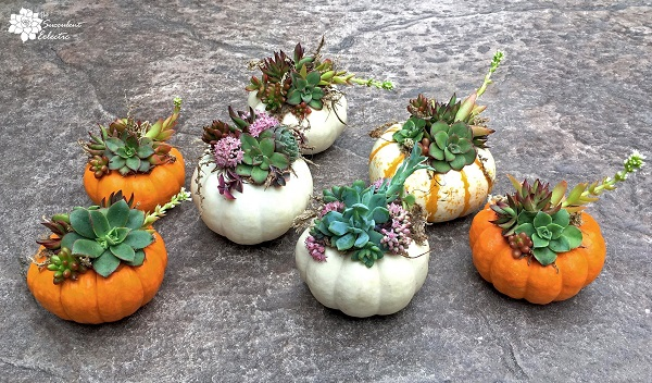 white, orange and tiger striped succulent pumpkins