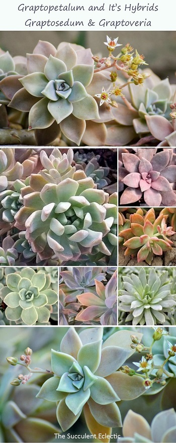 Learn to identify and grow graptopetalum and its hybrids graptosedum and graptoveria