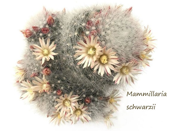 millaria schwarzii cactus in bloom from Leaf & Clay