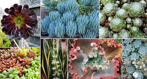 collage of succulents that go dormant