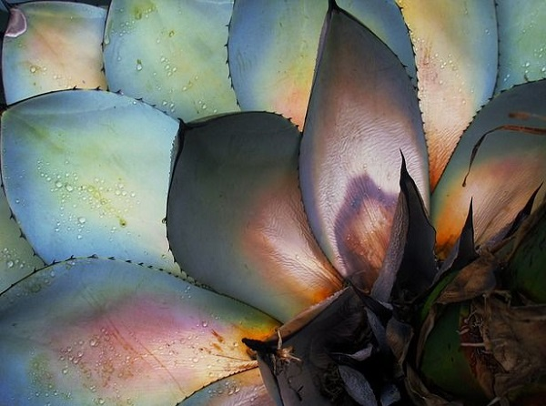 colorful leaves in agave plant
