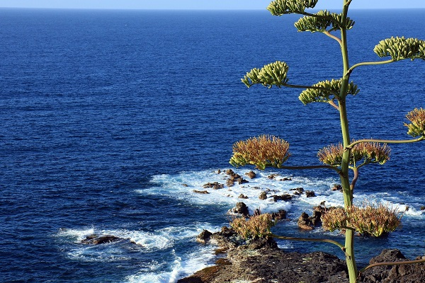 agave blooms on tall flower stems above the ocean