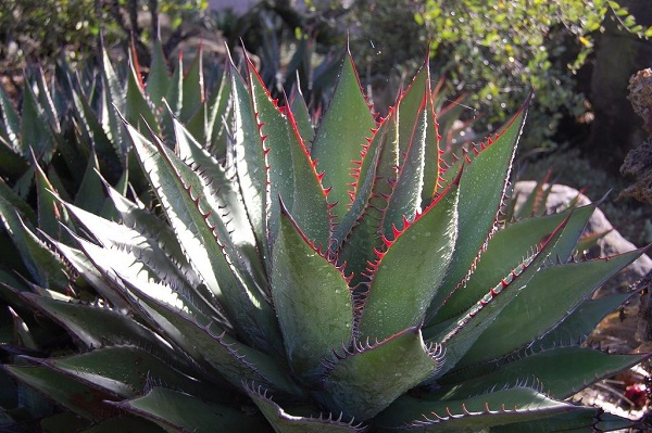 Agave shawii with fiery red spines