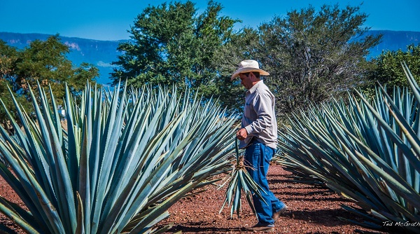 Agave tequiliana, blue agave is harvested  manually