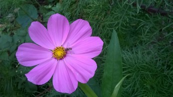 Bee on Cosmo