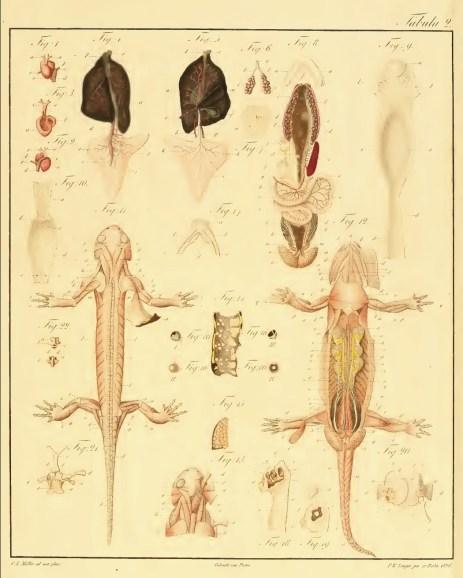 De vita salamandrae terrestris planche 2