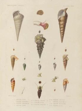 Voyage de découvertes de l'Astrolabe, exécuté par ordre du roi, pendant les années 1826-1827-1828-1829, sous le commandement de M. J. Dumont d'Urville - Page 117