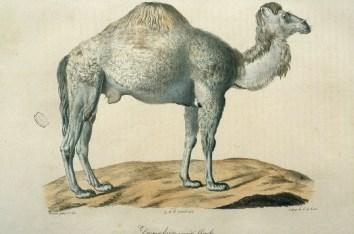 Histoire naturelle des mammifères, Wermer, Maréchal, Huet, C. de Lasteyrie, Etienne Geoffroy Saint-Hilaire, Frédéric Cuvier - 3