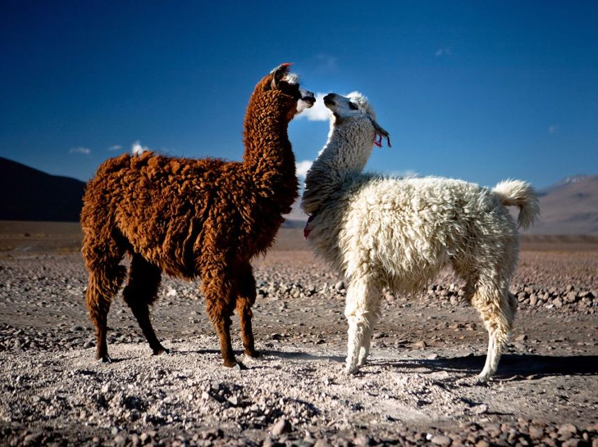 llamas and/or alpacas