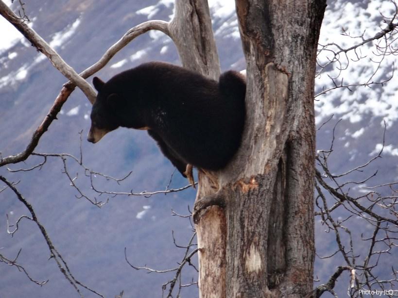 Black Bear in a tree at the Alaska Wildlife Conservation Center in Girdwood, Alaska