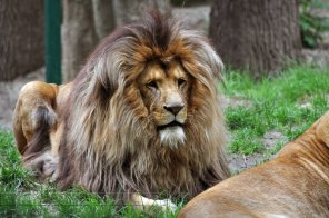 Majestic-King-Of-Lions-Mane