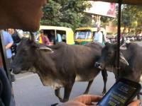 Do you really go to India if you don't have a near death encounter running over a cow?