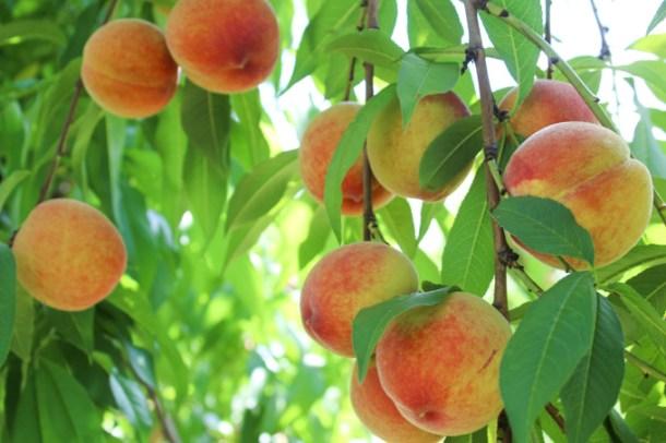 Peach picking