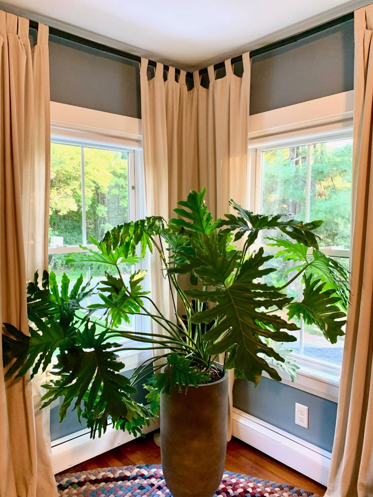 Phil the Wellesley Philodendron